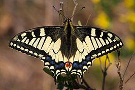 266px-Il_conte_di_Luna_-_Papilio_machaon_(by-sa)[1]